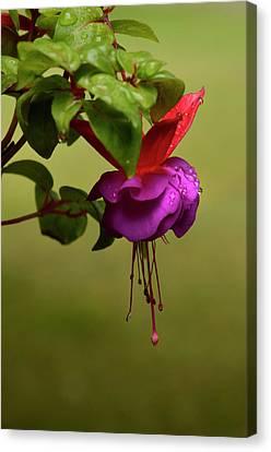 Fuchsia Fuchsia Canvas Print by Ann Bridges