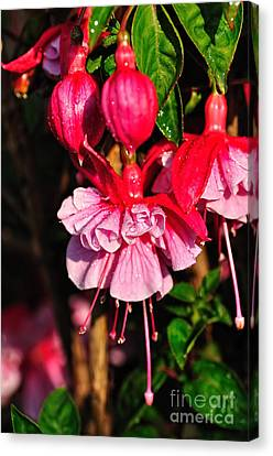 Fuchsias With Droplets Canvas Print