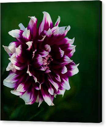 Fuffled Petals Canvas Print by Cherie Duran
