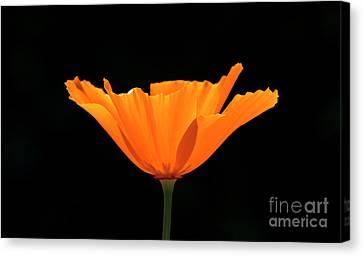 Full Bloom Ca Poppy Canvas Print by Shawn Jeffries