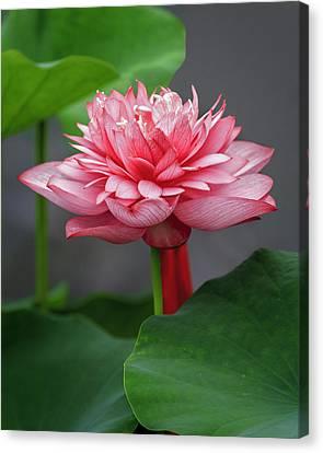 Full Bloom Lotus Canvas Print