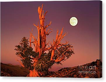 Canvas Print featuring the photograph Full Moon Behind Ancient Bristlecone Pine White Mountains California by Dave Welling