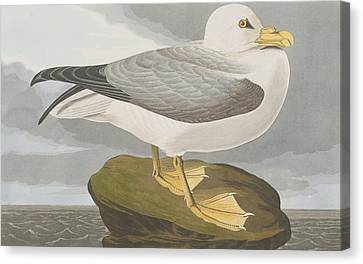 Fulmar Petrel Canvas Print
