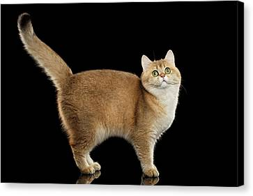 Funny British Cat Golden Color Of Fur Canvas Print by Sergey Taran