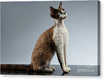 Funny Devon Rex Sits In Profile View On Gray  Canvas Print by Sergey Taran