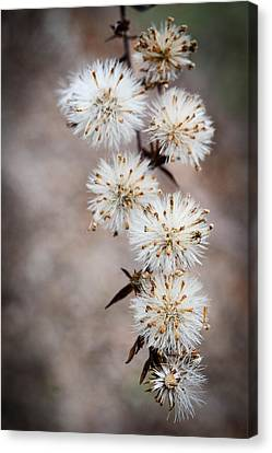 Fuzzies Canvas Print by Amy Turner