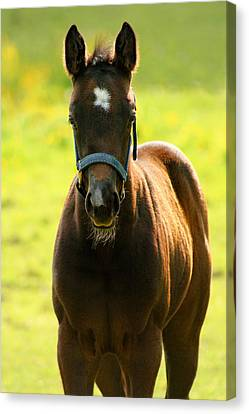 Canvas Print featuring the photograph Fuzzy Colt by Angela Rath