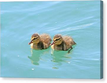 Fuzzy Ducks Canvas Print by Shoal Hollingsworth