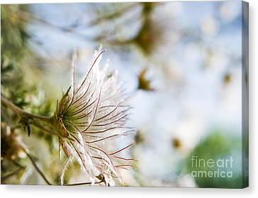 Fuzzy Flower Flare Canvas Print by Ray Laskowitz - Printscapes