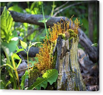 Canvas Print featuring the photograph Fuzzy Stump by Bill Pevlor