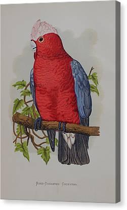 Galah Cockatoo - 1884 Canvas Print