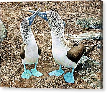 Galapagos Blue-footed Boobies Dance Canvas Print