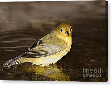 Galapagos Mangrove Warbler Canvas Print by Dave Fleetham - Printscapes