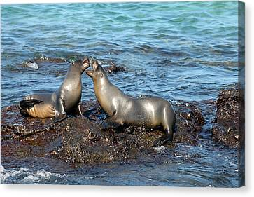 Galapagos Sea Lion Canvas Print by Alan Lenk