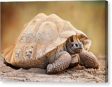 Galapagos Tortoise Side View Canvas Print by Susan Schmitz