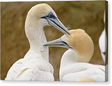 Canvas Print featuring the photograph Gannet Pair 1 by Werner Padarin