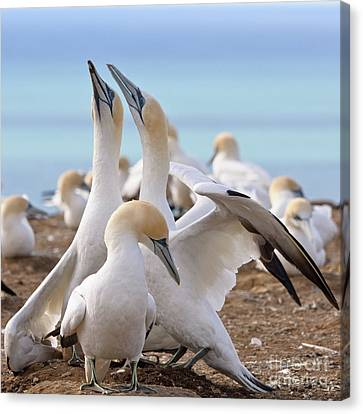 Gannets Canvas Print by Werner Padarin