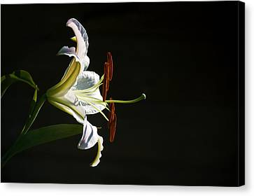 Garden Lily Canvas Print by Elsa Marie Santoro