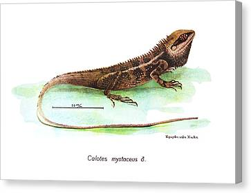 Garden Lizard Canvas Print