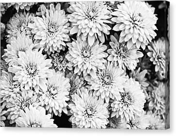 Garden Mums Canvas Print by Ryan Kelly