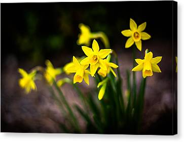 Garden Of Daffodils Canvas Print by Shelby Young