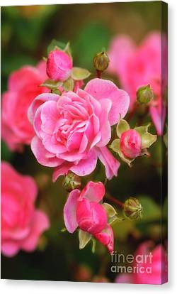 Canvas Print featuring the photograph Garden Rose by Alana Ranney