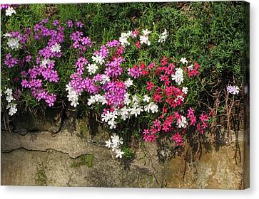 Phlox Canvas Print - Garden Wall by Ann Bridges