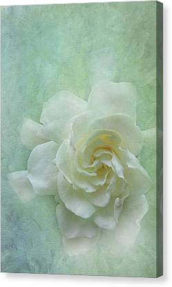 Gardenia Canvas Print by Catherine Alfidi