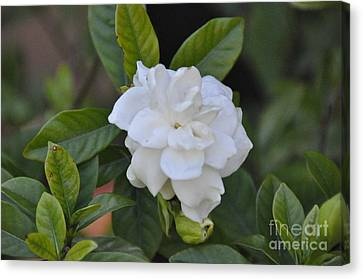 Canvas Print featuring the photograph Gardenia by John Black