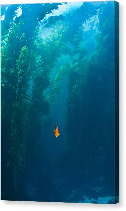 Garibaldi Fish In Giant Kelp Underwater Canvas Print by James Forte