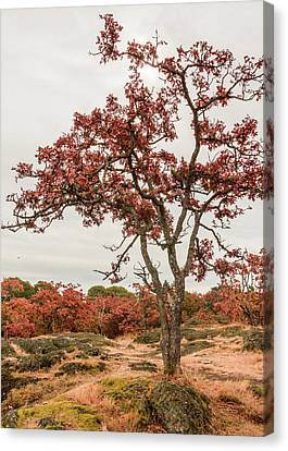 Garry Oaks 2 Canvas Print by Claude Dalley
