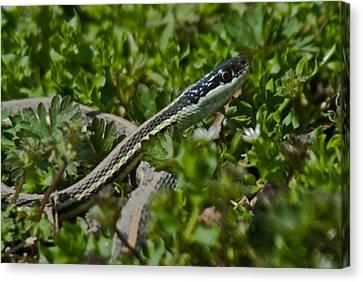 Garter Snake Canvas Print by Douglas Barnett