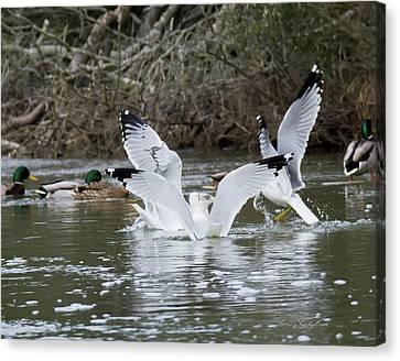 Gathering Of Egrets Canvas Print