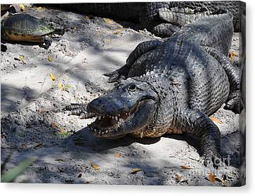 Canvas Print featuring the photograph Gator Bait by John Black