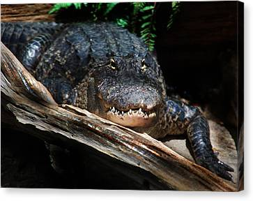 Canvas Print featuring the photograph Gator Resting by Kathleen Stephens