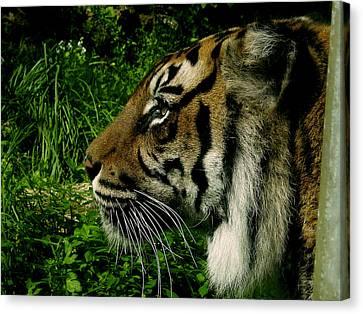 Gaze Of The Tiger Canvas Print by Edan Chapman
