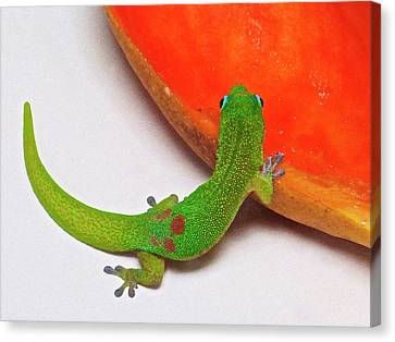 Gecko Eating Papaya Canvas Print