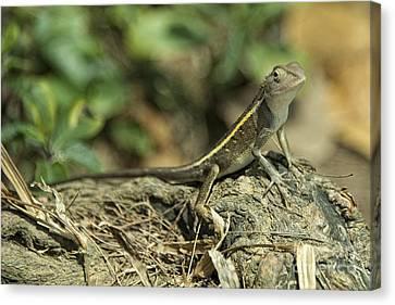 Angthong Canvas Print - Gecko  by Rob Hawkins