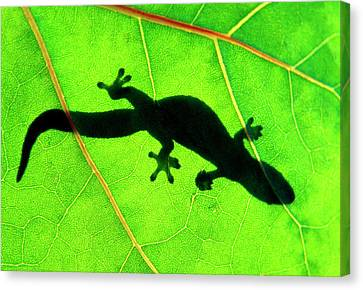 Gecko Silhouette On Green Leaf, North Shore, 1998 Canvas Print
