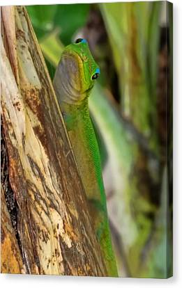 Gecko Up Close Canvas Print