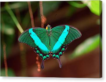 Geen Blue Butterfly Canvas Print by Don  Wright