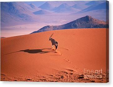 Gemsbok Canvas Print by Eric Hosking and Photo Researchers