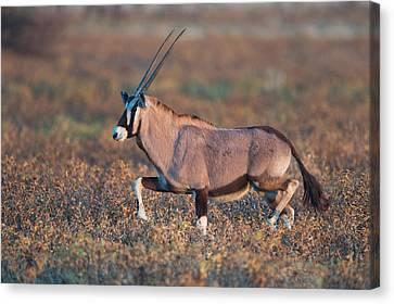 Gemsbok Oryx Gazelle In A Field, Etosha Canvas Print by Panoramic Images