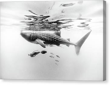 Apnea Canvas Print - Gentle Giant by One ocean One breath