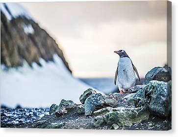 Gentoo Penguin On Barrientos Island - Antarctica Photograph Canvas Print