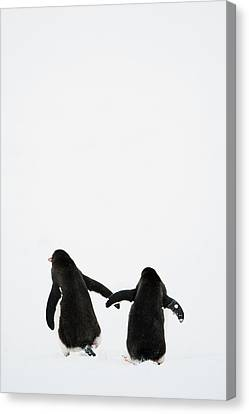 On The Move Canvas Print - Gentoo Penguin (pygoscelis Papua) by Elliott Neep