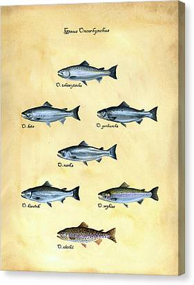 Genus Oncorhynchus Canvas Print by Logan Parsons