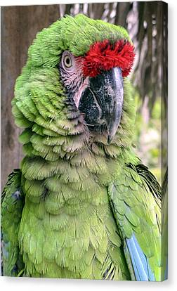 George The Parrot Canvas Print by Bob Slitzan