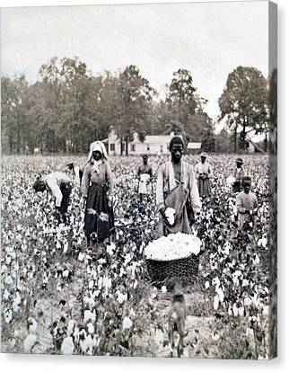Picker Canvas Print - Georgia Cotton Field - C 1898 by International  Images