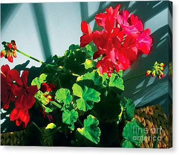 Geranium Canvas Print by David Klaboe